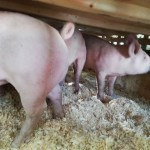 pigs 10