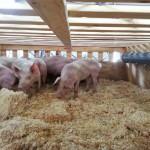 pigs 13