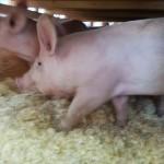 pigs11