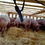 pigs12